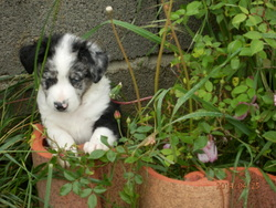 Jenna, chien Border Collie