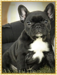 Jenna, chien Bouledogue français