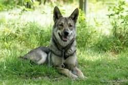 Jenna, chien Chien-loup de Saarloos