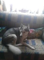 Jenna, chien Husky sibérien