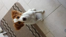 Jenna, chien Épagneul breton