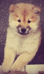 Jennah , chien Chow-Chow