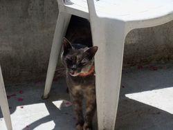 Jennie, chat Chartreux