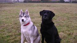 Jenny, chien Labrador Retriever