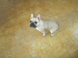 Jenny , chien Bouledogue français