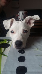 Jenny, chien Jack Russell Terrier