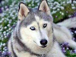 Jenny, chien Husky sibérien
