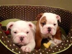 Jenny, chien Bulldog