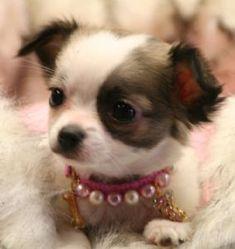Jenta, chien Chihuahua