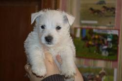 Jeny, chien West Highland White Terrier