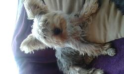 Jeri, chien Yorkshire Terrier