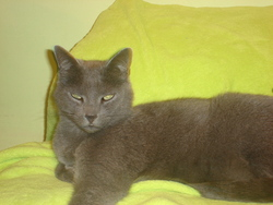 Jerry, chat Chartreux