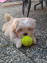 Jerry, chien Lhassa Apso