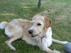 Jerry, chien Griffon fauve de Bretagne