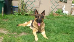 Jerry Lee, chien Berger allemand