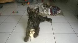 Jersey, chien Berger de Picardie