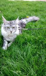 Jersey, chat Maine Coon