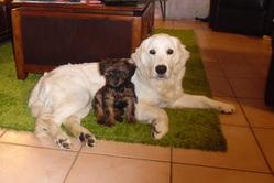 Jerty, chien Golden Retriever