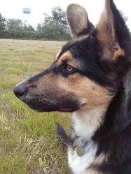 Jerry, chien Berger allemand
