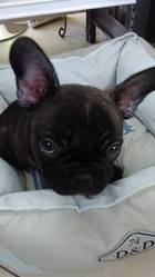 Jesko, chien Bouledogue français
