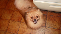 Jess, chien Spitz allemand