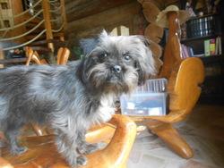 Jess, chien Shih Tzu