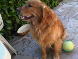 Jess, chien Golden Retriever