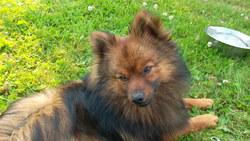 Elik, chien Spitz allemand
