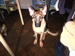 Jess, chien Berger allemand