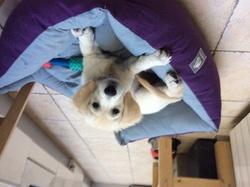 Jess, chien Golden Retriever