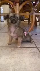 Jess, chien Chihuahua