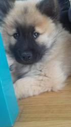 Jesse, chien Eurasier
