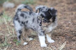 Jessi, chien Chihuahua