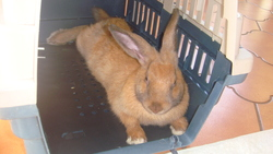 Jessica, rongeur Lapin