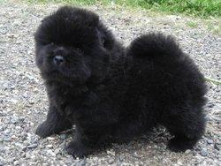Jessie, chien Chow-Chow