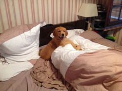 Jessie, chien Golden Retriever