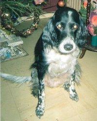 Jessie, chien Setter anglais