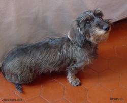 Jessie, chien Teckel