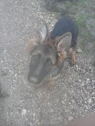 Jessie, chien Berger allemand