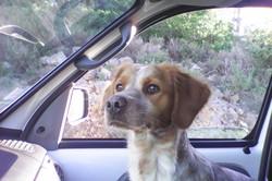Jessie, chien Épagneul breton