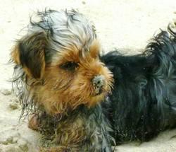 Jessie, chien Yorkshire Terrier