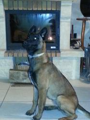 Jessie, chien Berger belge