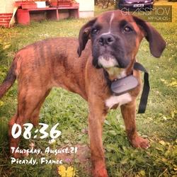 Jessie, chien Boxer