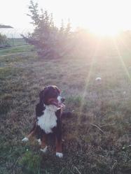 Jessie, chien Bouvier bernois