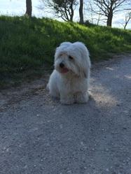 Jessie, chien Coton de Tuléar