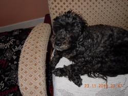 Jessie, chien Caniche