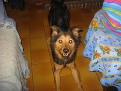 Jessy, chien Berger allemand