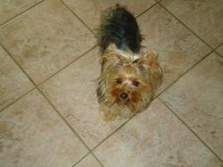 Jessy, chien Yorkshire Terrier