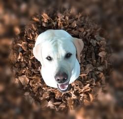 Jessy, chien Labrador Retriever