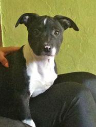 Jessy, chien American Staffordshire Terrier